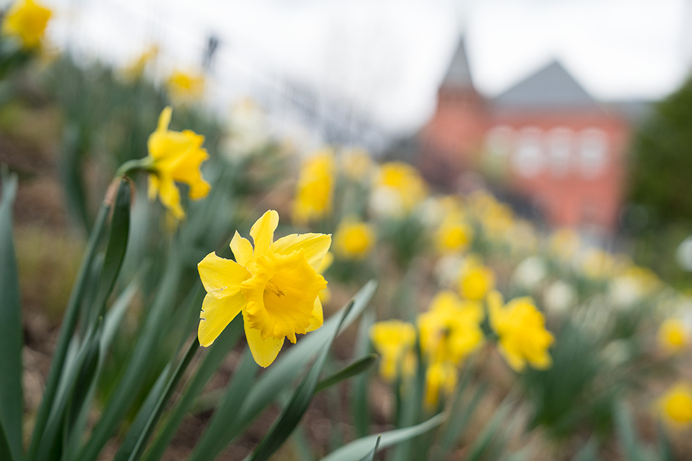 daffodils with Rollins Chapel in background
