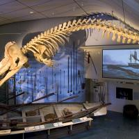 whale bones at Nantucket whaling museum